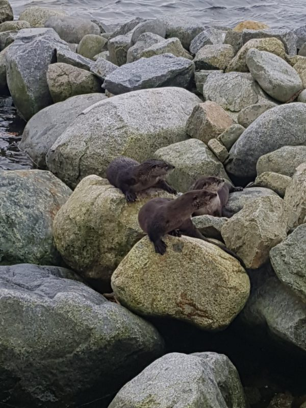 otters playing in Vancouver image